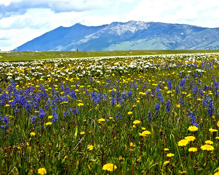 Flat Ranch, Idaho Wildflower Meadow