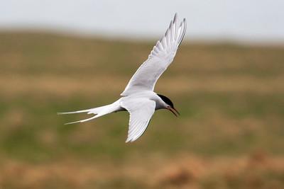 Iceland - Arctic Terns