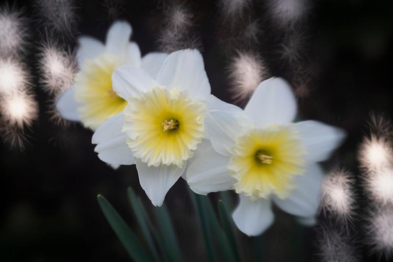 Daffodils032819-72.jpg