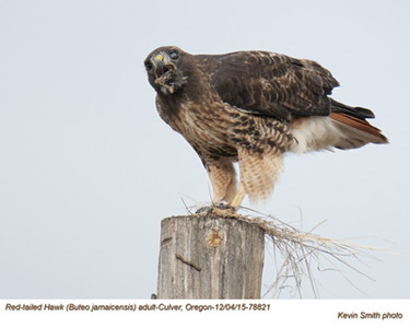 Red-Tailed Hawk A78821.jpg
