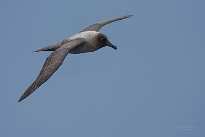 Light-mantled Albatross (Phoebetria palpebrata) NT