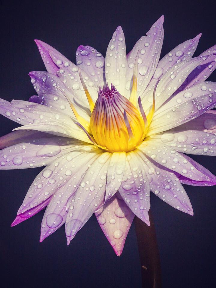 莲花,雨露滋润