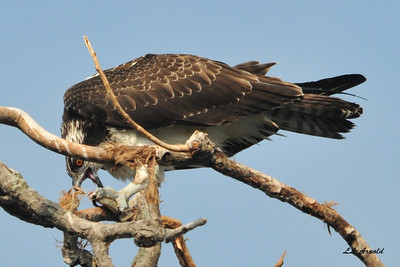 Osprey with lunch at Lima Lake
