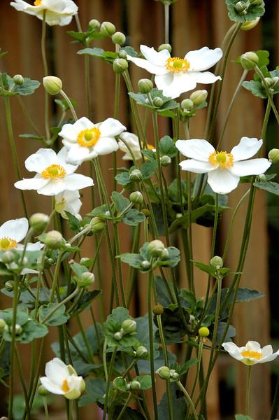 Anemone (5).jpg