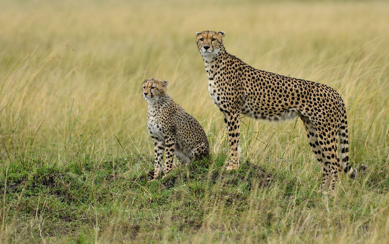 Cheetah-mother-cub-mara.jpg