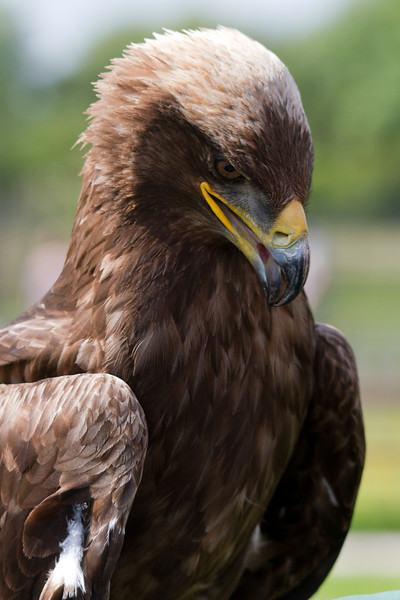 Rosie the Steppe Eagle - beautiful, powerful and quite heavy when holding her n your arm!