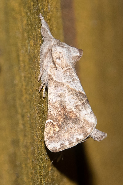 Prominant-Angle-lined-(Clostera inclusa)- Dunning Lake - Itasca County, MN