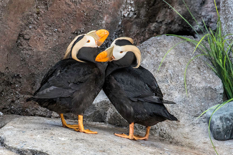 Tufted Puffin pair, Alaska Sealife Center, Seward