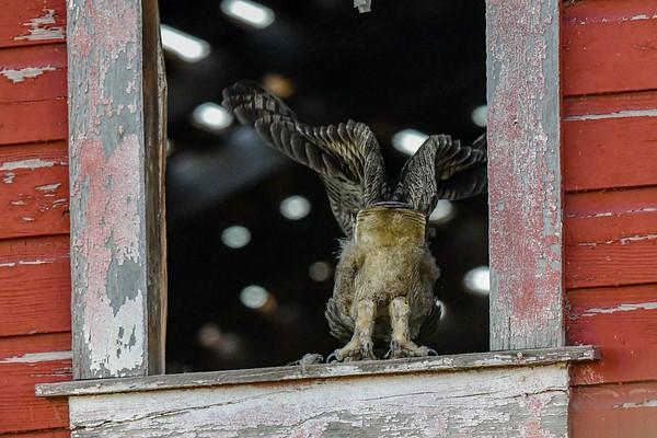 8-1-18 Great Horned Owl - Barn Window