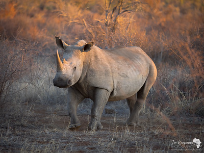 Evening Sun Rhino