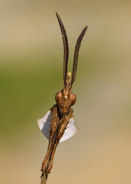 Violin-mantis-posing-kolar.jpg