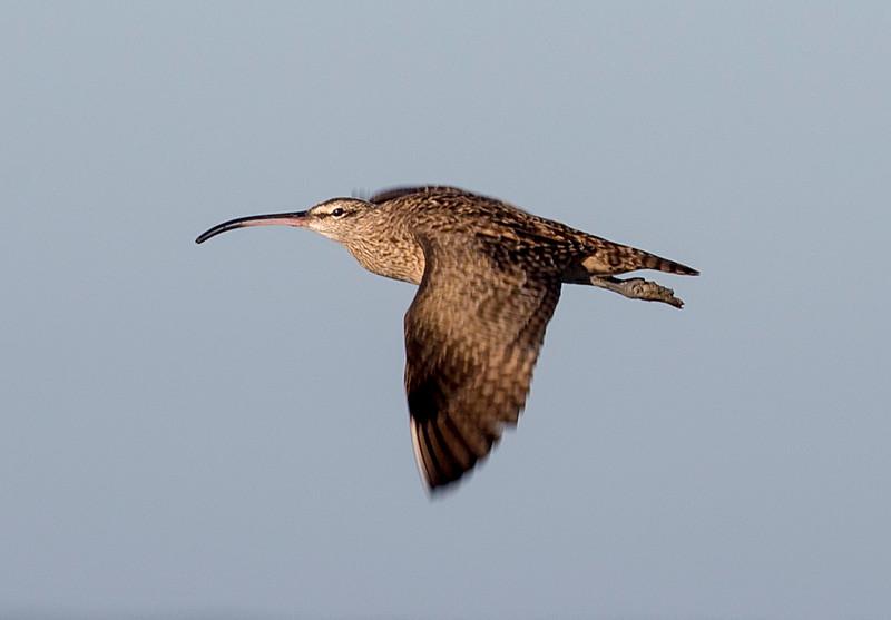 A Long-Billed Curlew in flight