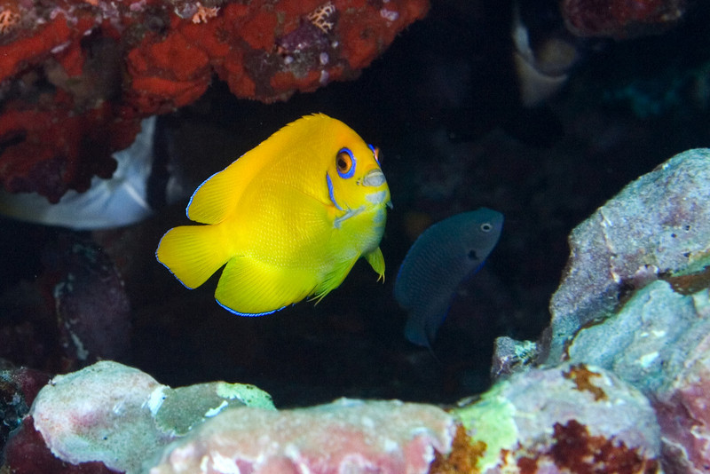 Lemonpeel Angelfish 2.jpg