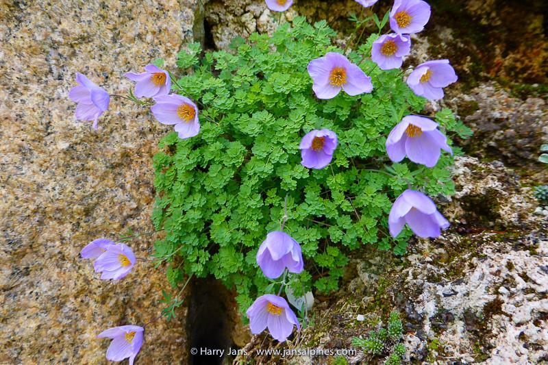 Paraquilegia anemonoides (L&S Form)