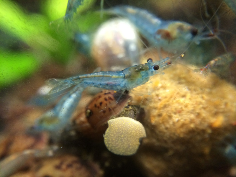 Juvenile blue jelly