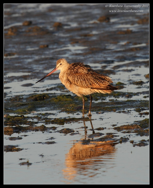 Marbled Godwit in the setting sun, Robb Field, San Diego River, San Diego County, California, July 2011