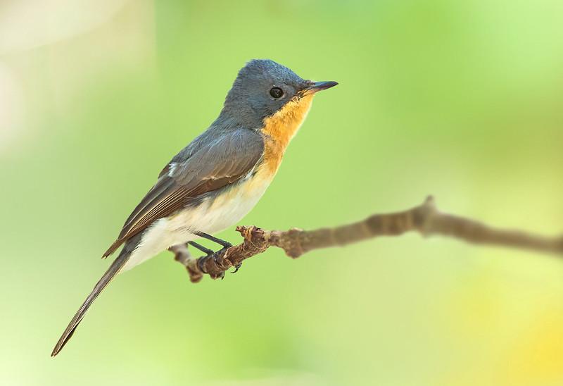 Leaden Flycatcher - Myiagra rubecula (Cairns, Qld)