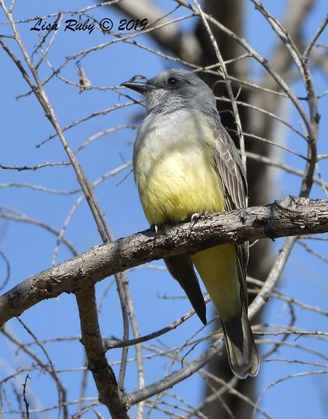 Cassin's Kingbird  - 12/01/2019 - Lindo Lake