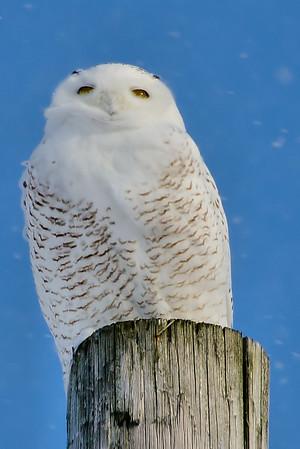 Snowy Owl (Little Falls, NY)