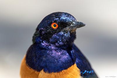 Masaistær (Hildebrandt's Starling)