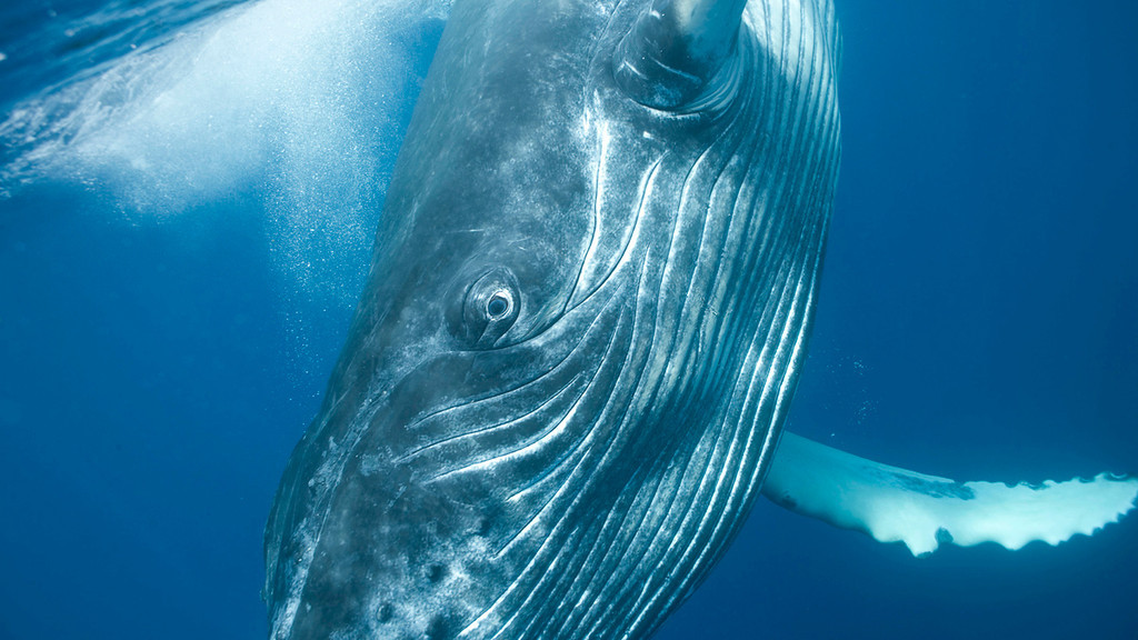 . Humpback whale calf. Photo by Bryant Austin. See more at <a href=\'http://www.studiocosmos.com/limited_editions.html\'>http://www.studiocosmos.com/limited_editions.html</a>.