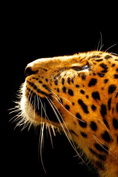 Amur Leopard v3 FSS.jpg