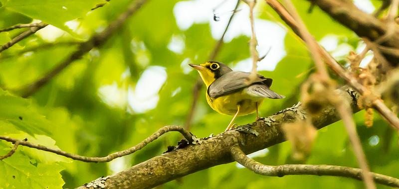 Canada Warbler (Photo by Richard Girardin)