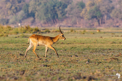 Lechwe on the Chobe