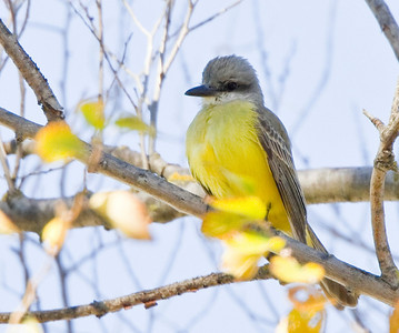 Tropical Kingbird in Davis, November 2010