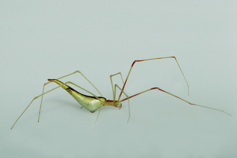 Argyrodes sp., West Maui