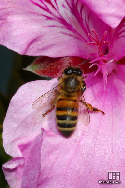 Bee on a Pelagonian