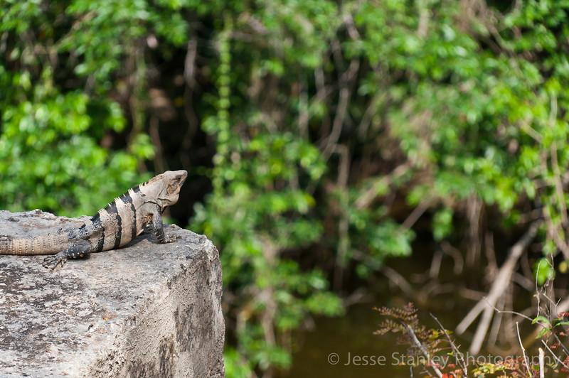 Iguana at Sacred Cenote, Chichen Itza