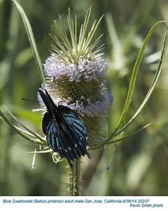 Blue Swallowtail M25237.jpg