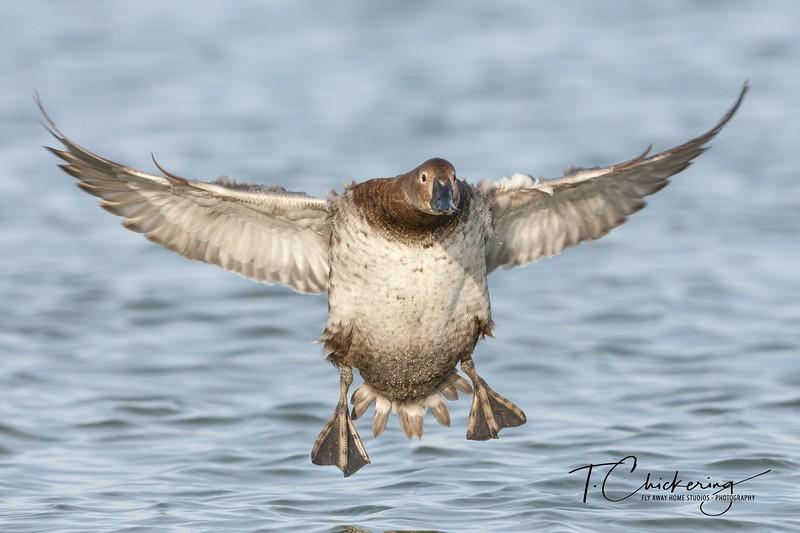 Canvasback Hen Landing.jpg