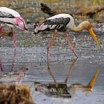 Two Painted Storks (Mycteria leucocephala) feeding in a lake in Ranthambhore national park