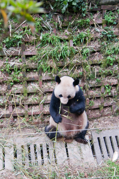 Mommy_Panda_Chengdu_Sichuan_China.jpg