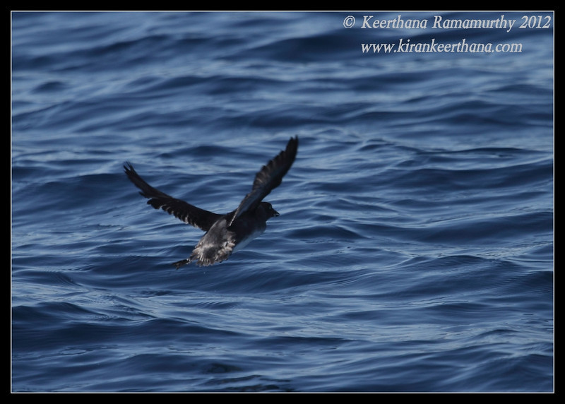 Cassin's Auklet in flight, Whale Watching trip, San Diego County, California, November 2012