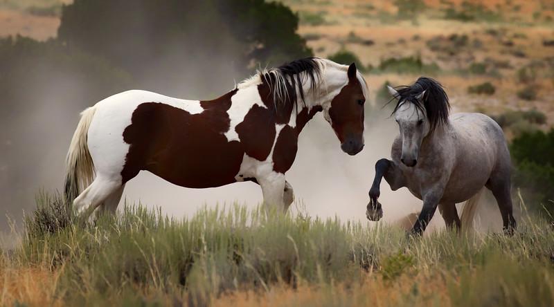 War Horses Squaring Off