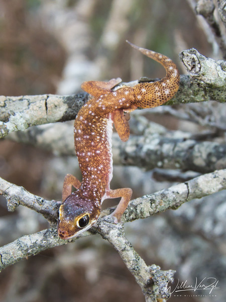 20210620 Austen's Gecko (Pachydactylus austeni) from Lamberts Bay, Western Cape