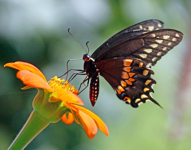 leavitt_spicebush swallowtail.jpg