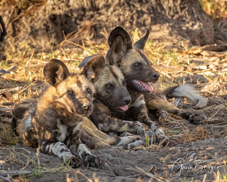 Wild Dogs Botswana-5.jpg