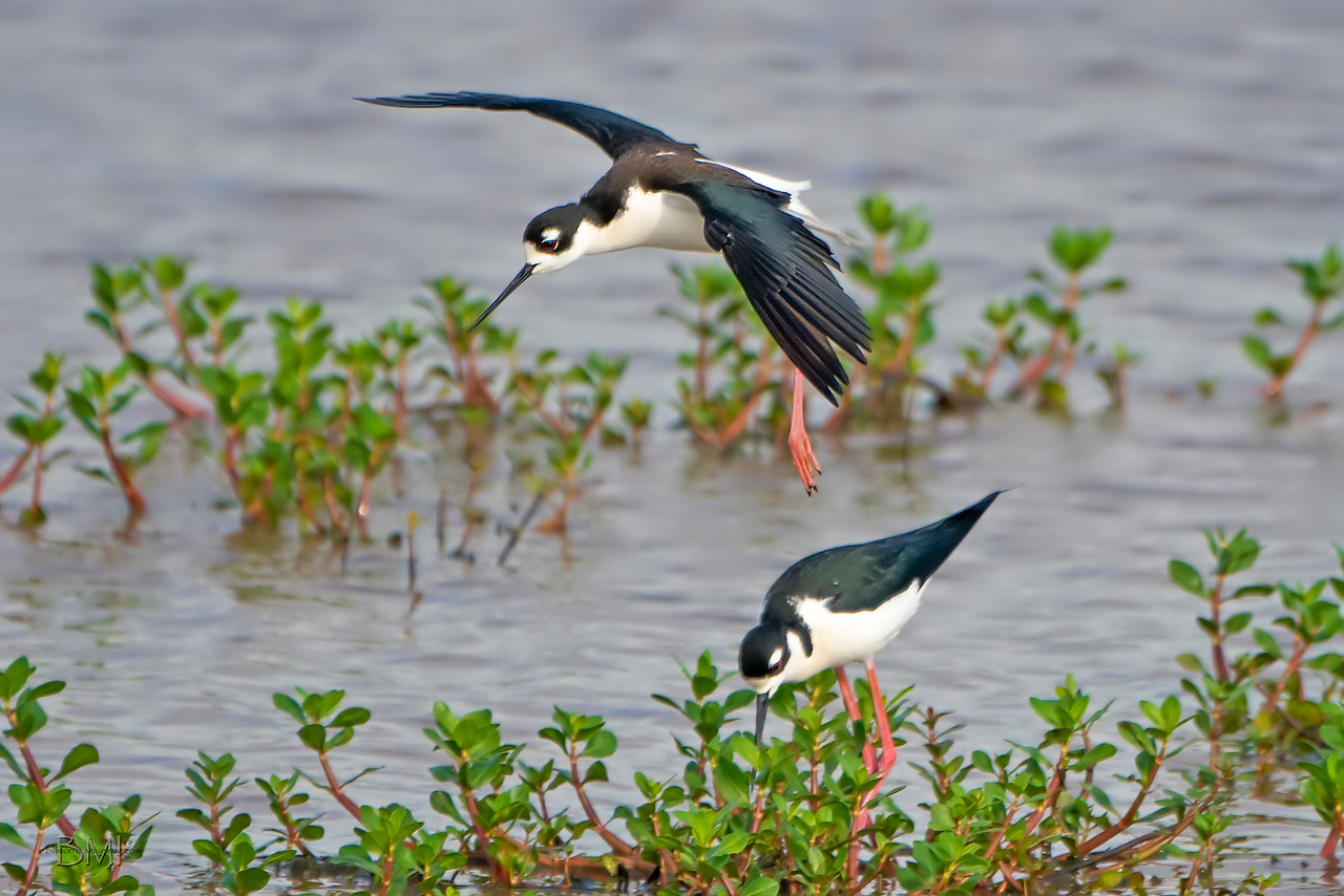 IMAGE: https://photos.smugmug.com/Beautyinthetreesandintheair/Shore-birds/i-4fbWxfP/0/b2228545/X3/Black-necked%20stilt%203-30-19-13%20RS-X3.jpg