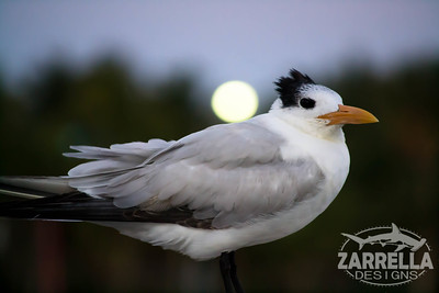 """Royal Tern Holding Up the Moon"" (Hillsboro, Florida)"