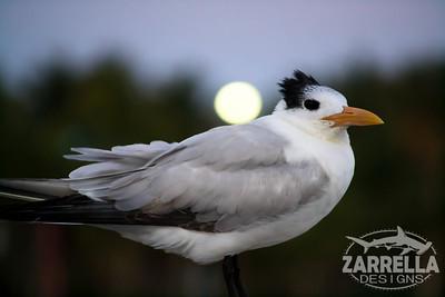 """Royal Tern Holding Up the Moon"" (Hillsboro, Florida)"