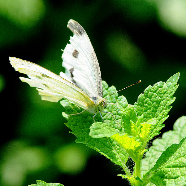 butterlfy on lemon balm