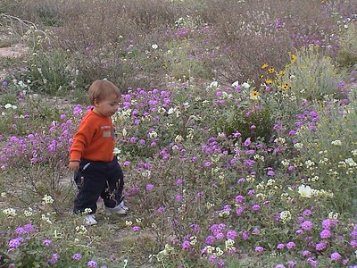 Wildflowers in Anza Borrego