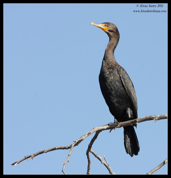 Double-crested Cormorant, Santee Lakes, San Diego County, California, December 2011