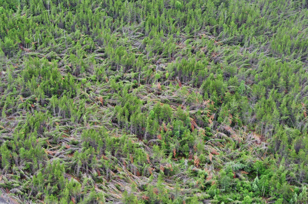. As if a giant has walked across the landscape, large sections of trees inside Woodland Caribou Provincial Park were snapped, bent down or toppled by a 