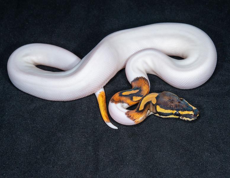 #2027, Male Piebald Het Albino, $425