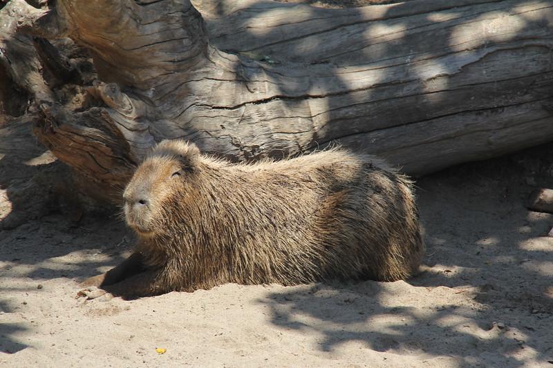 20170807-071 - San Diego Zoo - Capybara.JPG